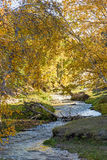 White Birch and stream in the autumn Stock Images