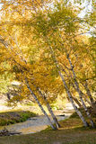 White Birch and stream in the autumn Stock Image