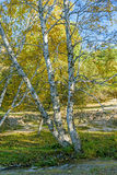 White Birch and stream in the autumn royalty free stock photography