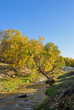 White Birch and stream in the autumn Royalty Free Stock Images