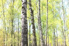 White birch in summer Stock Images