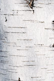 White Birch Texture Stock Photos