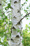 White Birch Tree. Close up of a very pretty white birch tree Royalty Free Stock Image