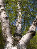 White birch tree. Big beauty birch tree blue sky, spring time Stock Photography