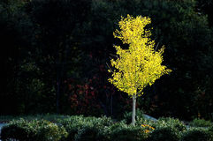 White birch tree in fall. American white birch tree in fall with bright yellow leaves Royalty Free Stock Photos