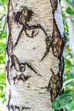 White Birch Tree in Forest Stock Images