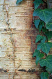 White Birch tree with Ivy leaves. Bark of an old white Birch tree with leaves of an climbing Ivy royalty free stock images