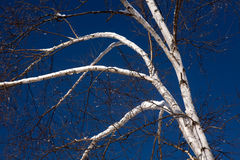 White Birch Tree Royalty Free Stock Images