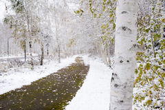 White birch tree trunk. In front of footway Stock Photos
