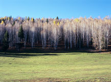 White birch  trees Stock Photography
