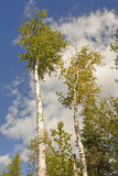 White Birch Trees Against the Sky Royalty Free Stock Image