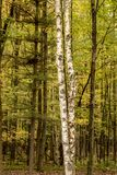 White Birch Trees Are Front And Center In Northwoods Forest Stock Photos