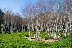 White birch trees Stock Photo