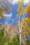 White Birch Trees in Autumn Against a Blue Sky Royalty Free Stock Photo