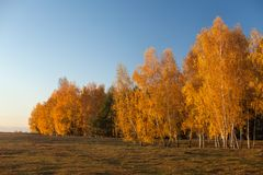 White birch trees in autumn with golden leaves Stock Image