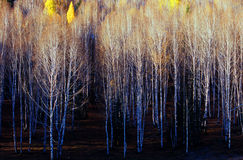 White birch  trees background. Royalty Free Stock Photos