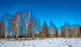 White birch. White birch trees on the background of dark blue sky Stock Photos