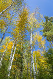 White Birch Trees (Betula papyrifera) in Autumn Against a Blue S Royalty Free Stock Photography