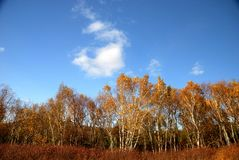White birch trees and blue sky Stock Images