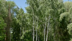 White birch trees in the forest are removed. By wire from the bottom to the top stock video