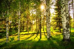 White birch trees in  forest with  sun Stock Images