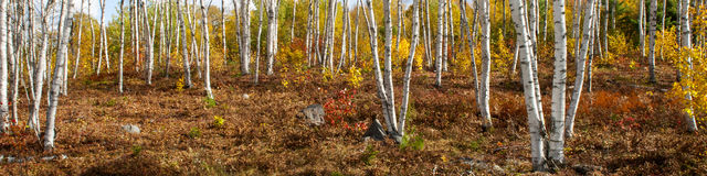 White Birch Trees Royalty Free Stock Image