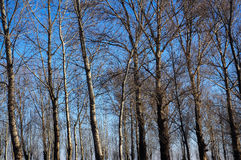 White Birch Trees. This shot was taken in my hometown during the winter time Stock Image