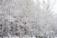 White birch trees Royalty Free Stock Images