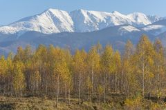 Forest of birch trees with golden autumn leaves. royalty free stock image