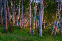 White Birch Trees at Sunrise Stock Images