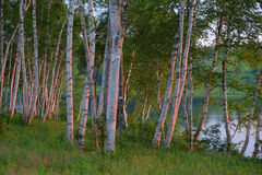 White Birch Trees at Sunrise Royalty Free Stock Images