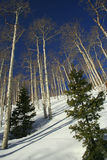 White Birch Trees in Utah Snow. White Birch Trees in the Wasatch Ranges close to Snowbird Stock Images
