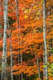 White Birch Trees With Intricate Pattern In The Midst Of A Colorful Wisconsin Forest Royalty Free Stock Photo