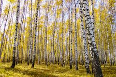 Beautiful autumn yellow birch forest in Russia royalty free stock images