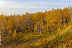 Beautiful autumn yellow birch forest in Russia royalty free stock photography