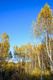 White Birch trunk Stock Images