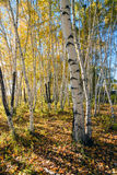 White Birch trunk and shadow Royalty Free Stock Image