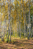 White Birch trunk and shadow Royalty Free Stock Images