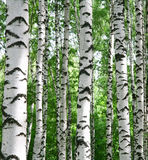 White birch trunks in summer sunny forest. In July Stock Images