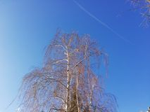 Birch tree branches and blue sky royalty free stock photos