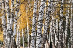White birch woods in autumn royalty free stock images