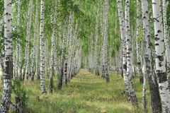 White birches Royalty Free Stock Photography