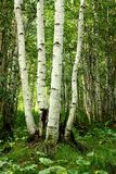 White birches Royalty Free Stock Images