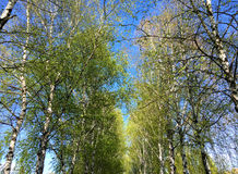 White birches Royalty Free Stock Photos