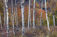 White birches against the colored leaves. Autumn in the White mountains of New Hampshire white birches against the colored leaves stock photography