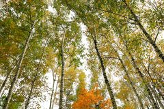White birches in the autumn. Northeast China Royalty Free Stock Photography