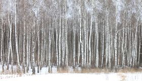 White birches in birch grove Royalty Free Stock Image