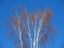 White birches Royalty Free Stock Photos
