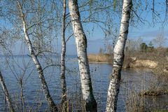 White birch in early spring morning stock image