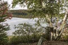White Birches Next to a Lake in Autumn - Algonquin Provincial Pa Stock Images